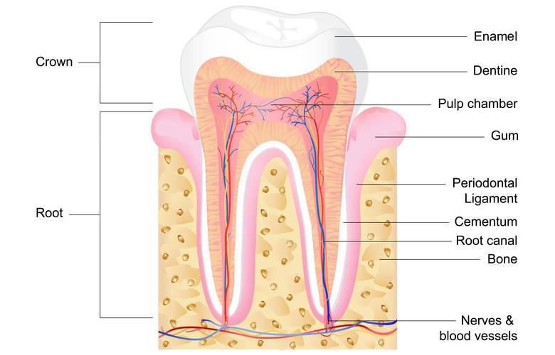 Ανατομία δοντιού