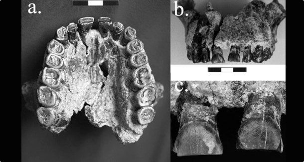 Απολιθώματα δοντιών δείχνουν ότι οι πρώτοι άνθρωποι ήταν δεξιόχειρες
