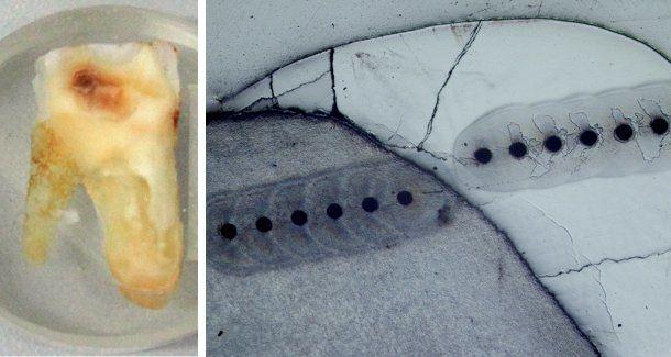 Νέα στοιχεία προκύπτουν από έρευνα σε απολιθώματα δοντιών!